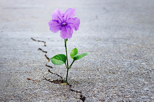A purple flower growing up through a crack in asphalt
