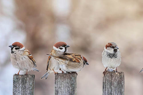 a line of sparrows perched on fence posts